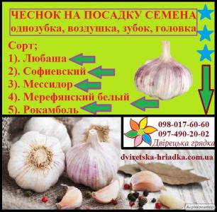 Nasiona czosnku ozimowego, lyubasha