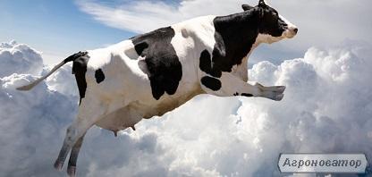 Krowy  Holsztyno-fryzyjska