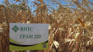 Nasiona kukurydzy, gamma