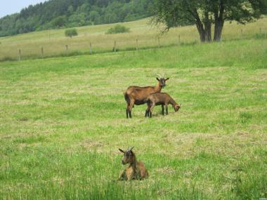 Sprzedam roczne kozy rasy alpejskiej  z dobrej hodowli