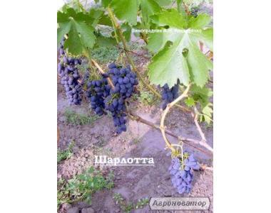 Sadzonki winogron, diaspory, anyuta