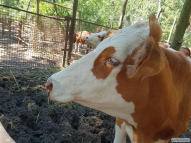 Krowy  Simentalska
