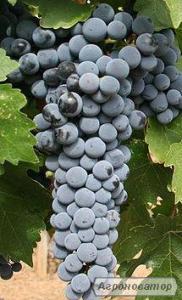 Przerobowa odmiana winorośli kaberne - sauvignon