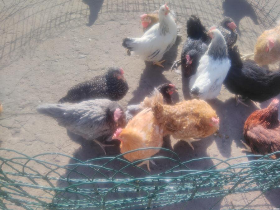 Młode kury nioski rasy Dominant 10 kolorów.