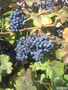 Przerobowa odmiana winorośli odesskiy chernyy