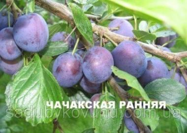 Sadzonki śliwy, chachanskaya krupnoplodnaya