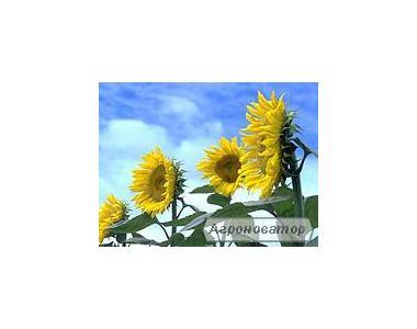 Nasiona słonecznika, gibrid zevs
