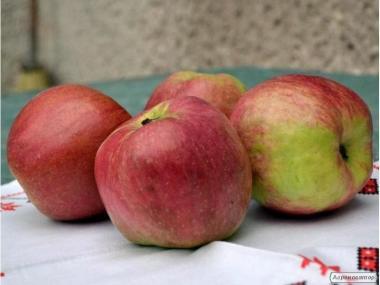Sadzonki jabłoni, dzhonagold