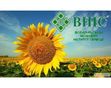 Nasiona słonecznika, ukrainskoe solnyshko