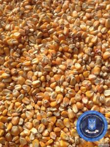 Kukurydza pastewna