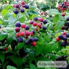 Sadzonki maliny, kovichan