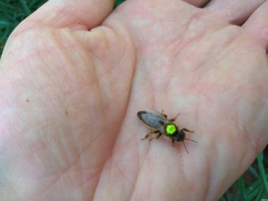 Matka pszczela  Karnika