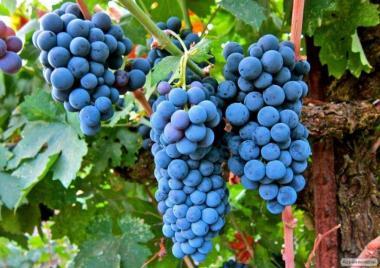 Przerobowa odmiana winorośli merlo