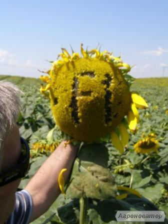 Nasiona słonecznika, gibrid ukrainskiy F1