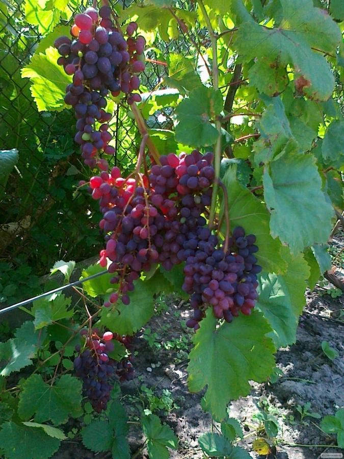 Sadzonki winogron, diaspory, volhv