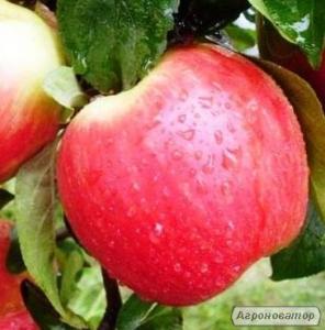 Sadzonki jabłoni, kanzi