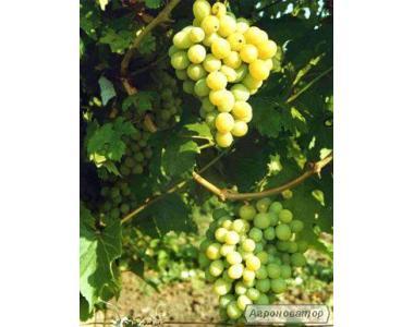 Sadzonki winogron, diaspory, kesha