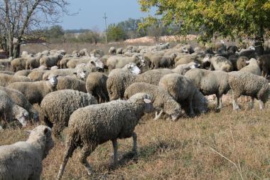 Owce  Askanijska