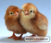 Kury nieśne rasa Leghorn