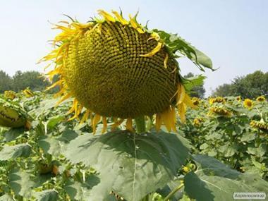 Nasiona słonecznika, gibrid dnestr