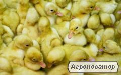 Kaczki  Baszkirka