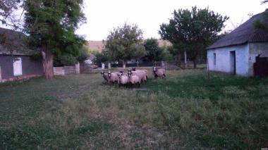 Owce  Romanowska