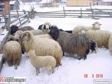 Owce  Gorno-karpatskaya
