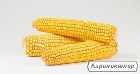 Nasiona kukurydzy, gibrid mel 272 mv
