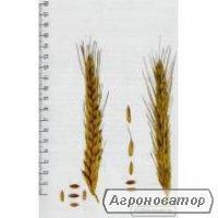 Nasiona pszenżyta