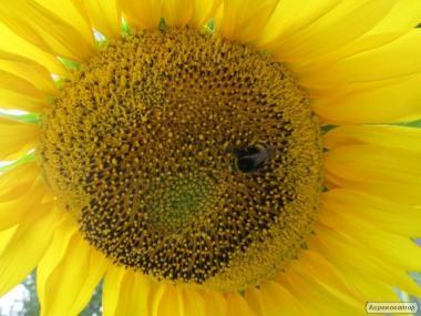 Nasiona słonecznika, gibrid limit F1