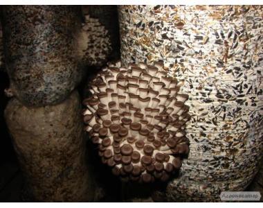 Grzybnia Boczniaka ostrygowatego