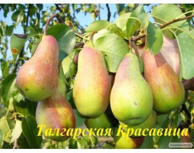 Sadzonki gruszy, talgarskaya krasavica